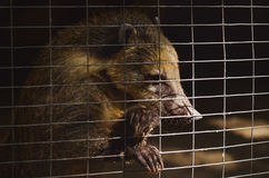 Coati in a cage at the zoo Stock Photo