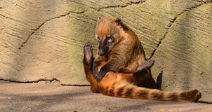 Coati Immagine Stock