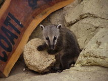 Coati. Cheerful little coati at your favorite rock stock images