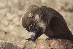 Coati Cleans Paw. Male white nosed coati cleans his paw while grooming Stock Photography