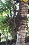 Coati Climbing Down Tree Stock Photography