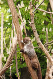 Coati climbing on tree Stock Images