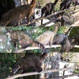 Coati Collage. The coati Coati-Mundi, coatimundi, hog-nosed coon at Iguazu Waterfall National Park Stock Photo