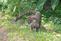 Coati, Costa Rica Stock Photography