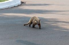 Coati crossing the street. Coati walking crossing the street Stock Photography
