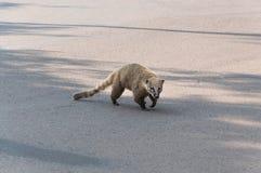 Coati crossing the street. Coati walking crossing the street Stock Images