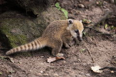 Coati cub. The juvenile of coati in the forest Stock Photography