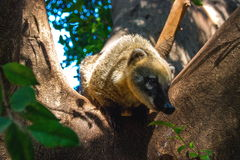 Coati curioso Fotos de Stock Royalty Free