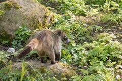 Coati del mapache del Nasua Coati adulado en Praga Foto de archivo libre de regalías
