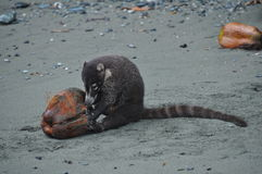 Coati, der eine Kokosnuss isst Stockfotografie