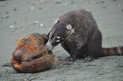 Coati eating a coconut. On the beach Royalty Free Stock Photography