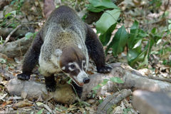 Coati en Costa Rica Image stock