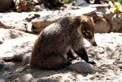 Coati en soleil Image libre de droits