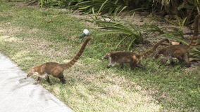 Coati family. Coati in resort hotel in Mexico , Riviera Maya Stock Image