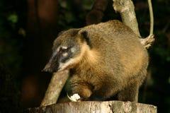 Coati on feeding table Stock Images