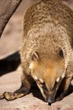 Coati at Feeding time Stock Images
