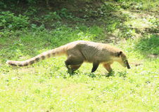 Coati flairé Image stock