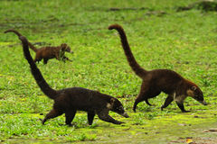 Coati / Guatemala Royalty Free Stock Photo