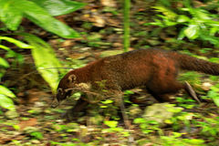 Coati / Guatemala Royalty Free Stock Photography