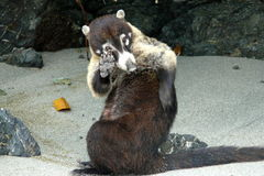 Coati i Manuel Antonio National Park, Costa Rica Royaltyfri Fotografi