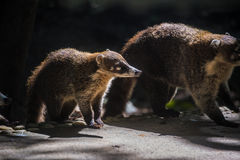 Coati Looking with caution. Yucatan, Mexico jungle. Royalty Free Stock Images