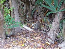 coati mamals with long tale in mexico royalty free stock photos