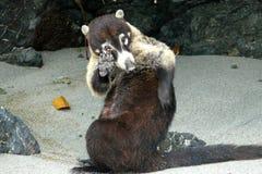 Coati in Manuel Antonio National Park, Costa Rica Fotografia Stock Libera da Diritti