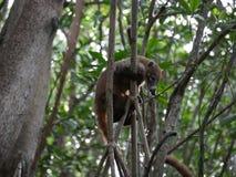 Coati Meksyk w mangrowe obrazy stock