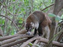 Coati Meksyk w mangrowe zdjęcie royalty free