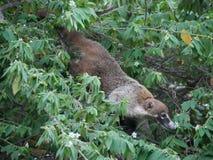 Coati Meksyk w mangrowe zdjęcia royalty free