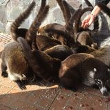 Coati Mundi obraz royalty free