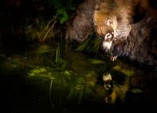 Coati Mundi dojechanie w wodzie z odbiciem obraz royalty free