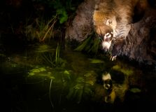 Coati Mundi reaching in water with reflection royalty free stock image