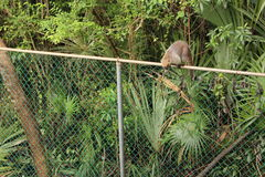 Coati na ogrodzeniu Zdjęcie Stock