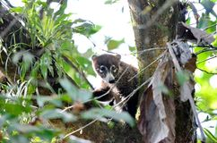 Coati Nasua narica. In the wild in Costa Rica Stock Image