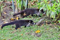 Coati Nasua narica. In the wild in Costa Rica Stock Photos