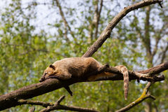 Coati (Nasua nasua). South American coati or ring-tailed coati (Nasua nasua) resting in a tree Stock Photography