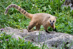 Coati Nasua nasua Racoon portrait Stock Images