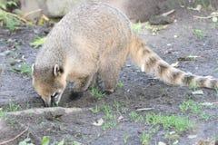 Coati (Nasua). The coati (Nasua) a predator from South America stock image