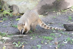 Coati (Nasua). The coati (Nasua) a predator from South America Stock Photos