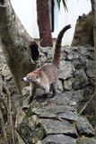 Coati Nasua. South American coati Nasua on tree branch Stock Photography