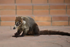 Coati, native mammal in Costa Rica. Ring-tailed Coati (Nasua nasua), a native mammal of Central and South America, acting as a scavanger while eating a cupcake Royalty Free Stock Image