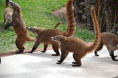 Coati. Nature, tropics, Caribbean, Yucatan, Mexico Stock Images