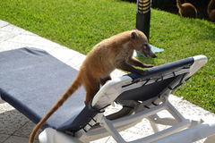 Coati. Nature, tropics, Caribbean, Yucatan, Mexico Stock Photography