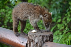 Coati. Nature, tropics, Caribbean, Yucatan, Mexico Royalty Free Stock Photo