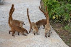 Coati Natureza, trópicos, as Caraíbas, Iucatão, México imagens de stock