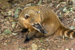 Coati near Iguazu in Misiones Province, Argentina Royalty Free Stock Images