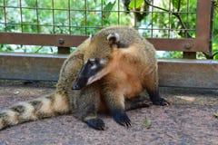Coati no parque nacional de Foz de Iguaçu em Argentina Ámérica do Sul imagem de stock royalty free