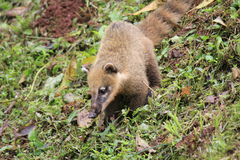 Coati in the park of Iguazu Royalty Free Stock Photography