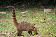 Coati in the park of Iguazu. In Argentina. Also known as the coatimundi. They like  humid Amazonian rainforests, especially  grasslands and bushy areas Stock Photos